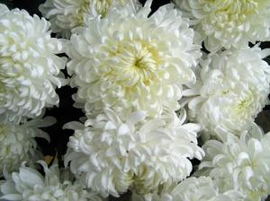 Цветы белые хризантемы