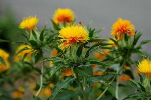 Цветок сафлора в цветении