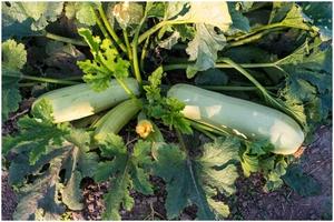 Выращивание кабачков Каризма