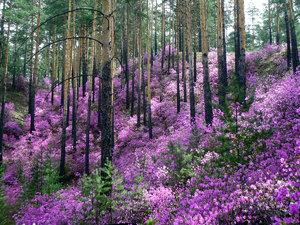 Цветение багульника в лесу
