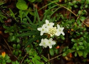 Цветы Багульника болотного