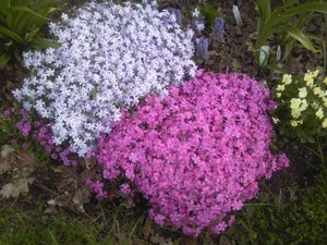 Цветы бордюрные