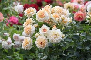 Вредители роз