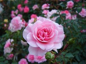 Посадка роз в саду