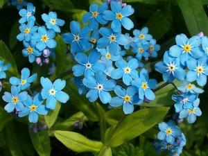 Цветы незабудки: выращивание и уход