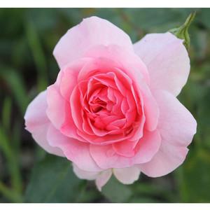 Особенности сорта розы