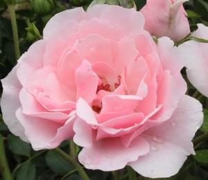 Вредители розы