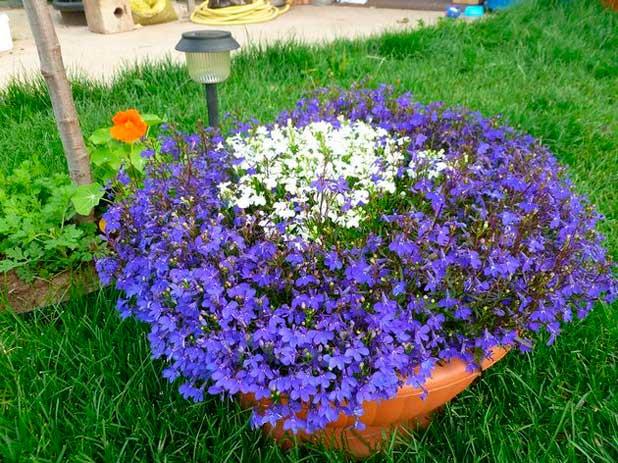 Низкорослые бордюрные цветы : фото и названия многолетних сортов разной