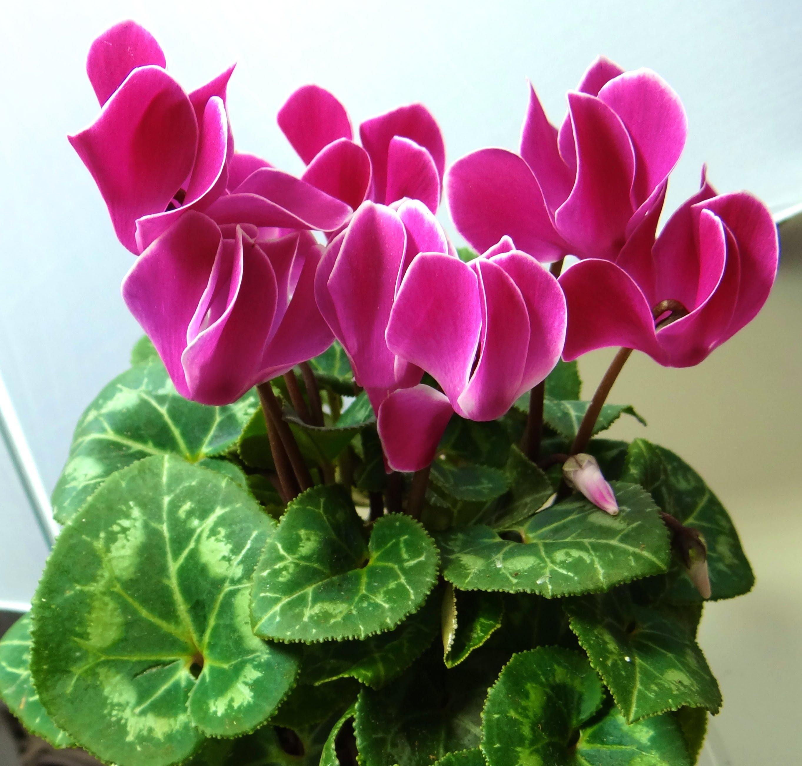 цикламена фото цветка позволяет запечатлеть