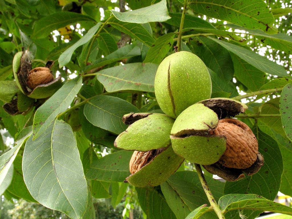 Грецкий орех дерево купить