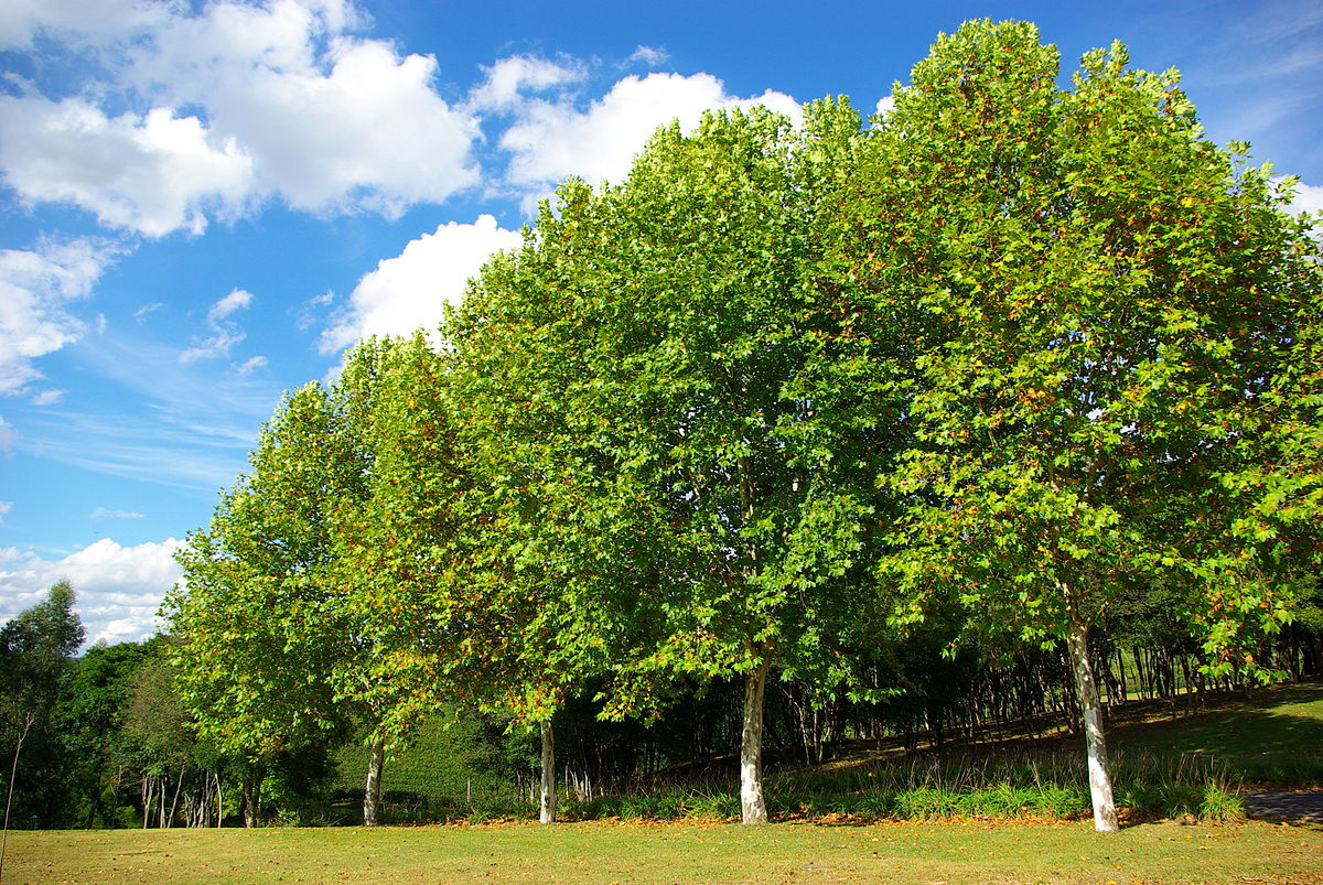 лиственные деревья беларуси фото и названия любим