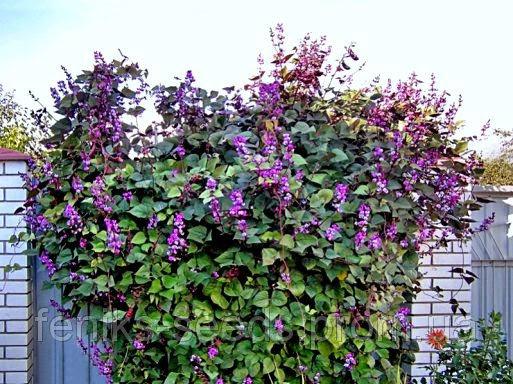 долихос цветок лиана фото