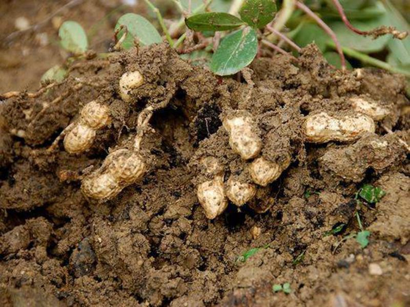 Как растет арахис показать фото