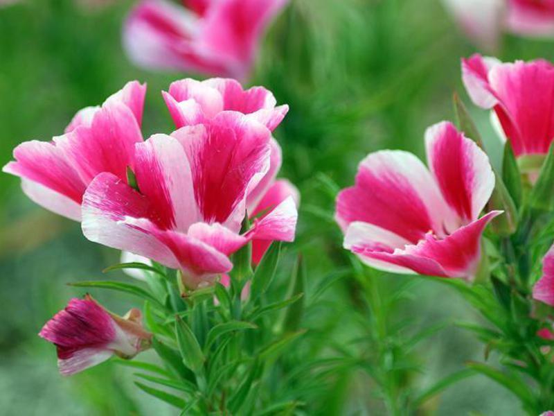 куриные кларкия фото цветы образом, само занимаемое