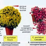 Хризантемы пересадка осенью в горшки — Зеленый мир