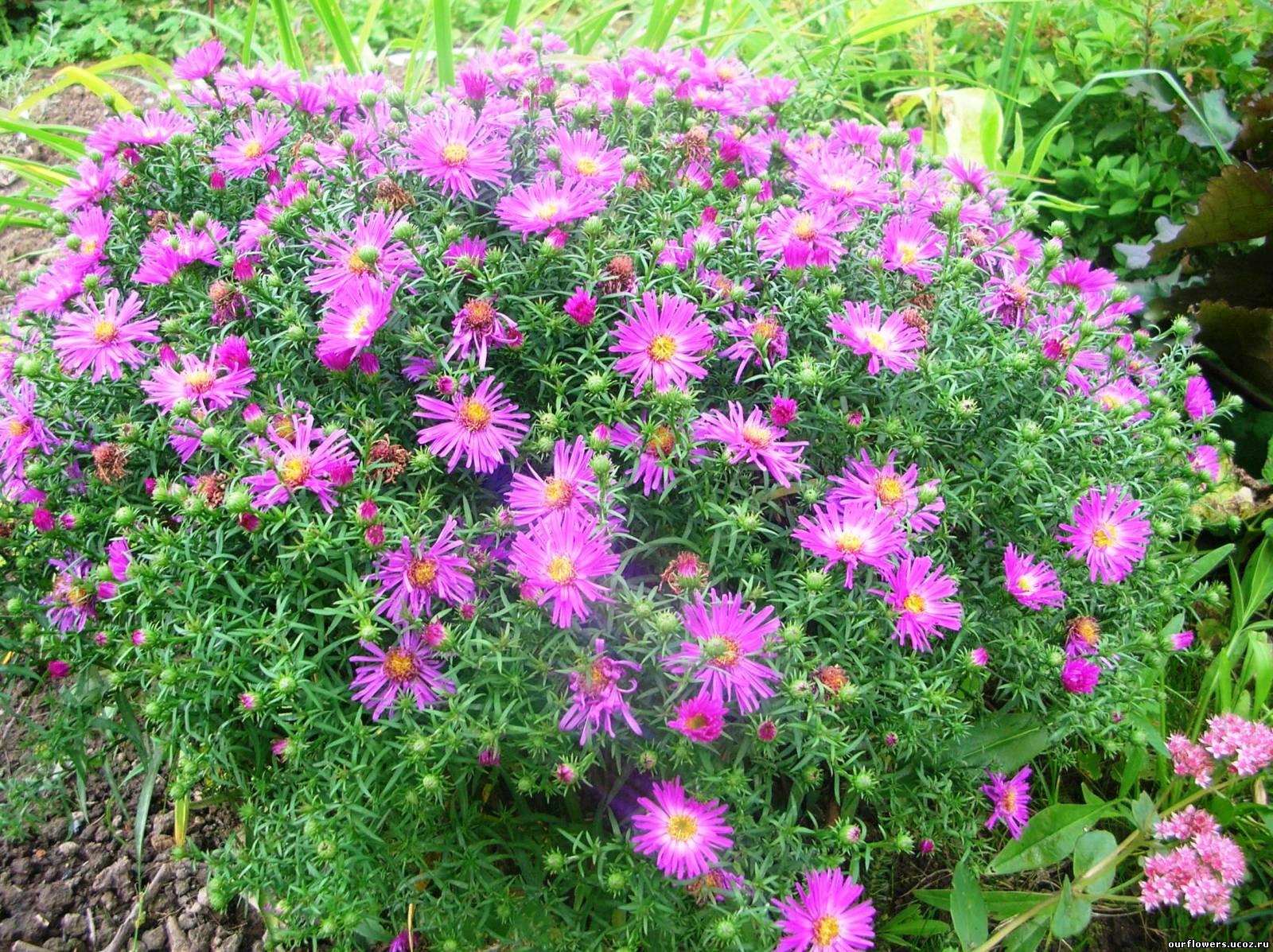 Многолетние цветы красного цвета фото и названия