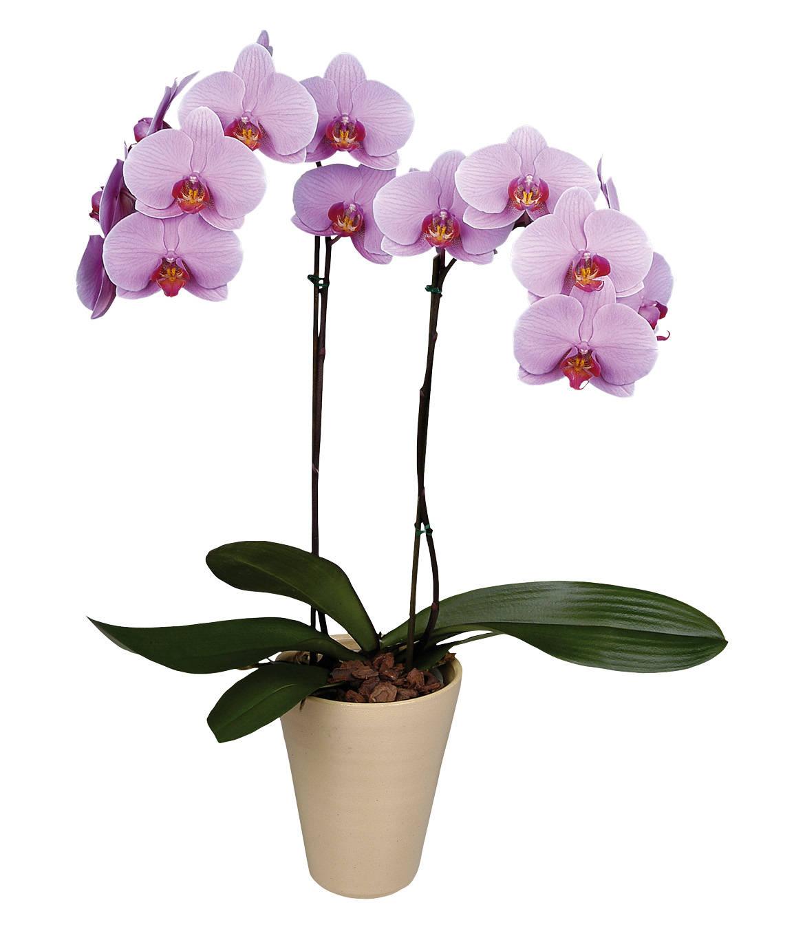 следующий картинки орхидей на ножке вопрос, надо обрезать