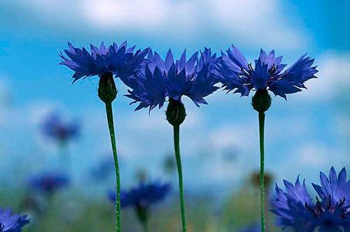 василек фото цветок полевой