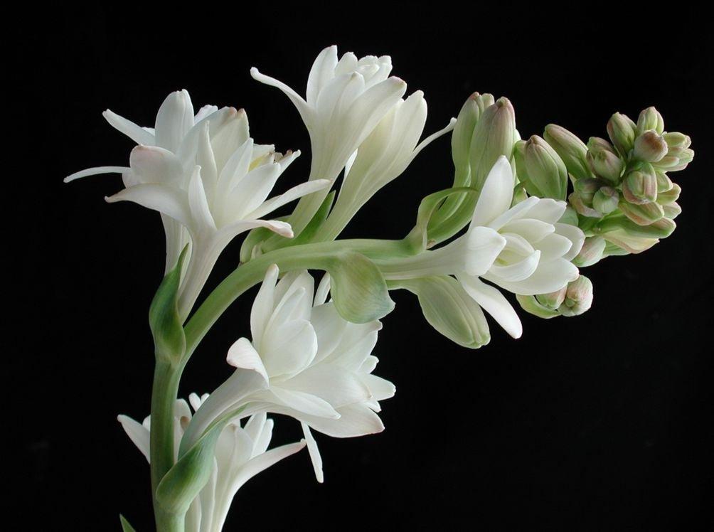 тубероза фото цветов