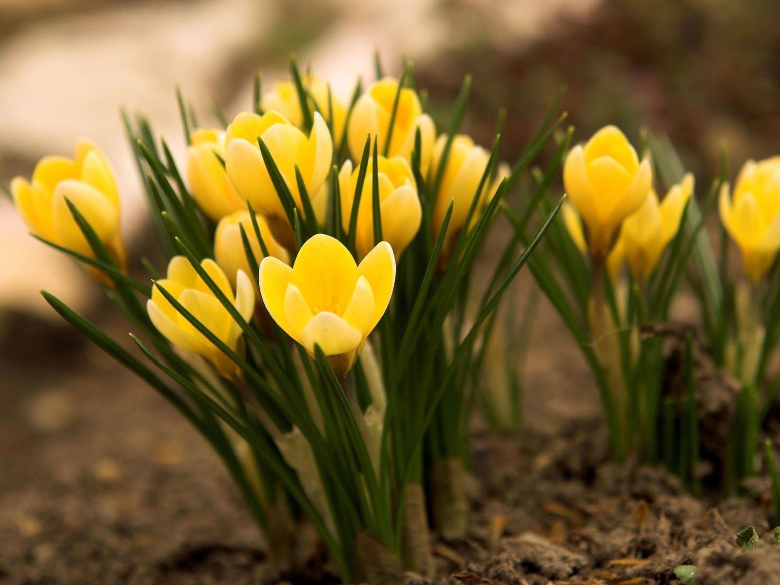 Цветок весенний фото и описание