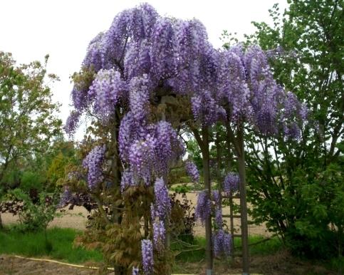 Плетущиеся цветы для сада многолетние 38