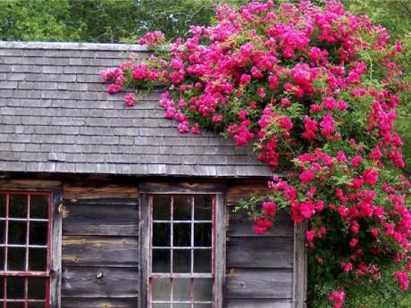 Плетущиеся цветы для сада многолетние 9