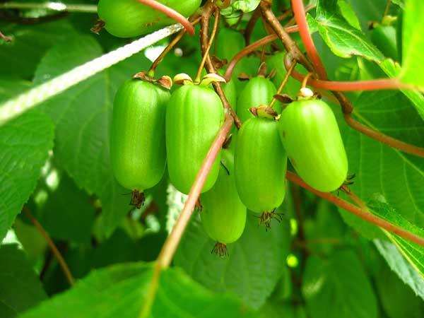 Выращивание актинидии: посадка и уход. Виды и сорта актинидии