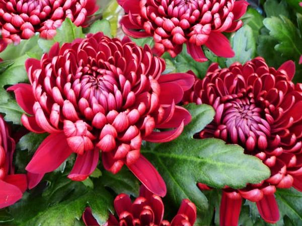 О хризантемах: разновидности, особенности, уход