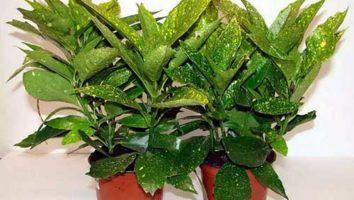 Аукуба цветок, нюансы выращивания комнатного растения, виды с описаниями и фото