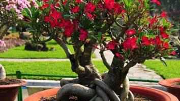 Адениум фото цветов в домашних условиях - выращивание, уход, размножение, пересадка