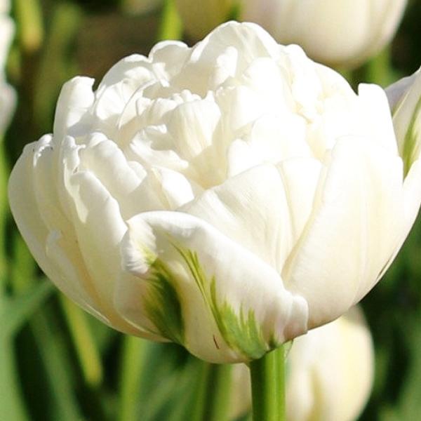 Махровые тюльпаны. Описание.